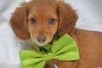 Dachshund Puppy For Sale in OSKALOOSA, KS, USA