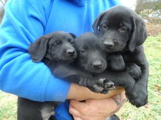 lab/ vizsla/bernese Mix Puppy For Sale in TOPSHAM, VT
