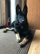German Shepherd Dog Puppy For Sale in FARMINGTON, MN, USA