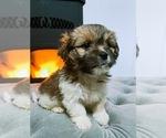 Puppy 8 Jack Russell Terrier-Shih Tzu Mix