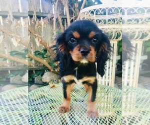 Cavalier King Charles Spaniel Puppy for sale in ROSEVILLE, CA, USA