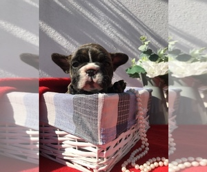 French Bulldog Puppy for sale in Dublin, Leinster, Ireland