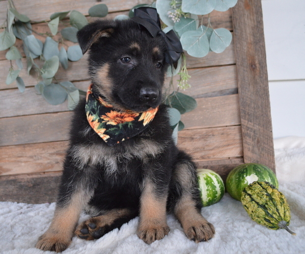 Medium Photo #1 German Shepherd Dog Puppy For Sale in HONEY BROOK, PA, USA