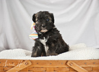 Aussiedoodle Puppy For Sale in MONTROSE, Colorado,