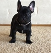 French Bulldog Puppy For Sale in ROSEVILLE, California,