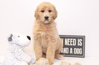 Goldendoodle Puppy For Sale in NAPLES, FL