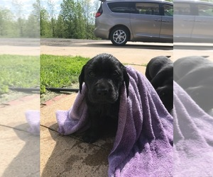 Labrador Retriever Puppy for sale in MITCHELLVILLE, IA, USA