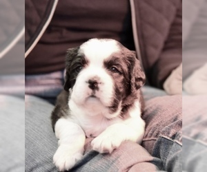 Boston Terrier-Cavalier King Charles Spaniel Mix Puppy for Sale in SMITHFIELD, Virginia USA