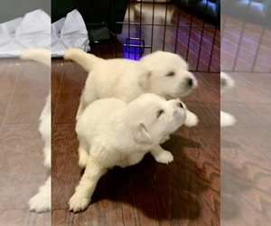 Great Pyrenees Puppy for sale in CONOVER, NC, USA
