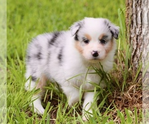 Aussiedoodle Puppy for Sale in WEATHERFORD, Texas USA