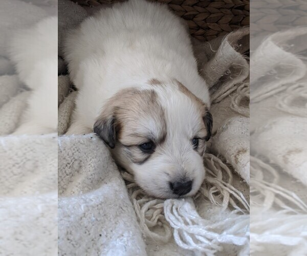 Medium Photo #96 Great Pyrenees Puppy For Sale in FALCON, CO, USA
