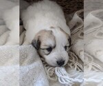 Small #95 Great Pyrenees