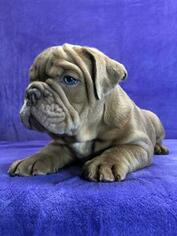 Bulldog Puppy for sale in GROSSE POINTE FARMS, MI, USA