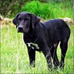 Great Pyredane Puppy For Sale in RICHLAND, MO