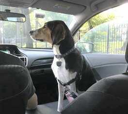 Beagle hound Mix Breed Dog to Adopt Long Is NY
