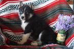 Siberian Husky Puppy For Sale in FREDERICKSBURG, Ohio,