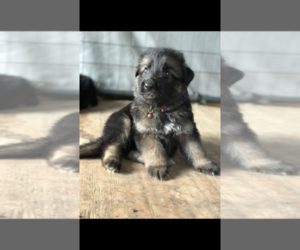 German Shepherd Dog Puppy for sale in ARLINGTON, TX, USA
