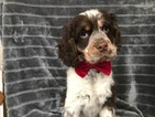 Small #12 Cocker Spaniel