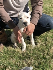 Dogo Argentino Puppy For Sale in SAN ANTONIO, TX, USA
