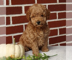 Labradoodle-Poodle (Miniature) Mix Puppy for sale in GORDONVILLE, PA, USA