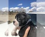 Small #6 Alapaha Blue Blood Bulldog