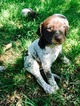 German Shorthaired Pointer Puppy For Sale in FAYETTEVILLE, AR