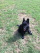 German Shepherd Dog Puppy For Sale in CARTHAGE, TN