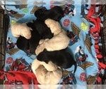 Labrador Retriever Puppy For Sale in WILSONVILLE, OR, USA