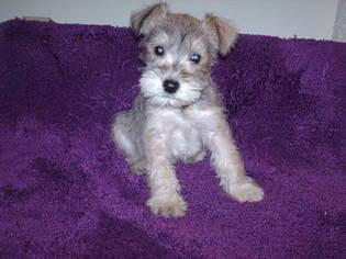 view ad schnauzer miniature puppy for sale colorado