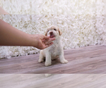 Small Malchi-Poodle (Toy) Mix