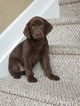 Labrador Retriever Puppy For Sale in MIAMI, FL, USA
