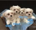 Maltese Shih Tzu Puppies