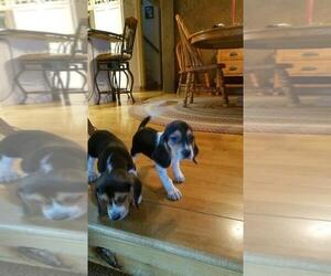 Beagle Puppy for sale in RUDOLPH, WI, USA