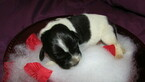 Small Photo #2 Newfoundland Puppy For Sale in CLINTON, AR, USA