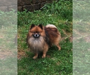 Father of the Pom-A-Nauze puppies born on 08/16/2020