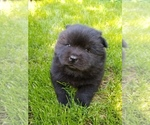 Image preview for Ad Listing. Nickname: Black chow baby