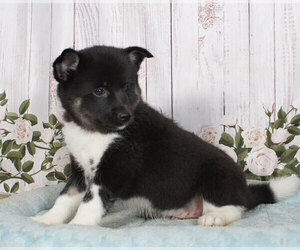 Pomsky Puppy for sale in PENNS CREEK, PA, USA