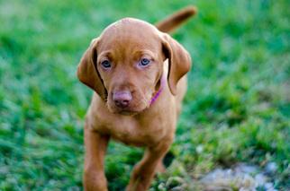 Vizsla Puppy For Sale in SHERIDAN, IN, USA