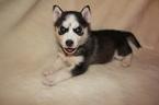 Puppy 4 Alaskan Husky-Pomeranian Mix