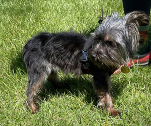Yorkshire Terrier Puppy for sale in CHAMPAIGN, IL, USA