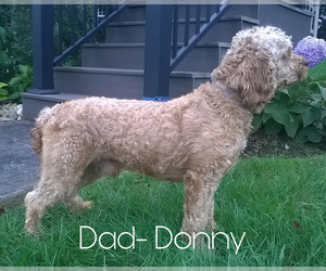 Father of the Goldendoodle-Poodle (Miniature) Mix puppies born on 02/15/2021