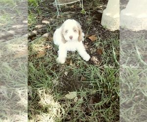 Cocker Spaniel-Poodle (Miniature) Mix Puppy for Sale in NEOSHO, Missouri USA