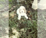 Cocker Spaniel-Poodle (Miniature) Mix Puppy For Sale in NEOSHO, MO, USA
