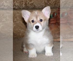 Pembroke Welsh Corgi Dog for Adoption in BLAND, Missouri USA