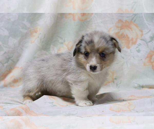 Medium Photo #4 Pembroke Welsh Corgi Puppy For Sale in SHILOH, OH, USA