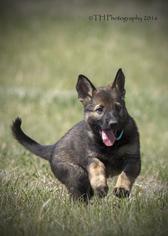 German Shepherd Dog Puppy For Sale in PEYTON, CO