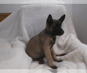 Belgian Malinois Puppy for Sale in OAK HILLS, California USA