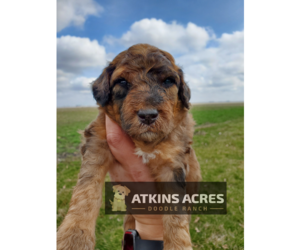 Aussie-Poo-Poodle (Standard) Mix Puppy for Sale in CHENOA, Illinois USA