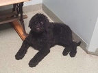 Labradoodle Puppy For Sale in LITTLESTOWN, PA