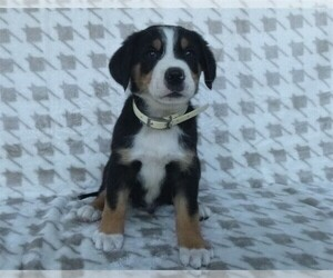Greater Swiss Mountain Dog Puppy for Sale in MILLERSTOWN, Pennsylvania USA